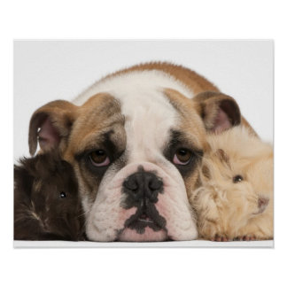 English bulldog puppy (4 months old) and two guine poster