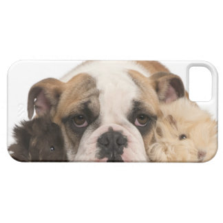 english bulldog puppy (4 months old) and two iPhone 5 cover