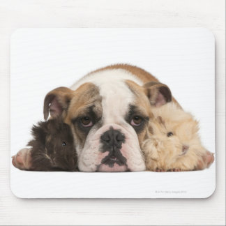 English bulldog puppy (4 months old) and two mouse pad