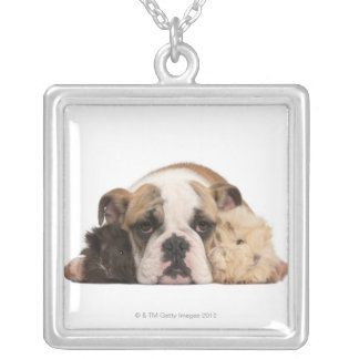 English bulldog puppy (4 months old) and two silver plated necklace