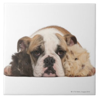 English bulldog puppy (4 months old) and two tile