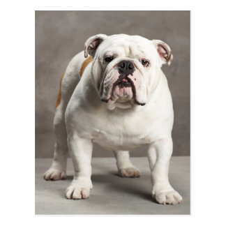 English Bulldog Puppy Dog Blank Postcard