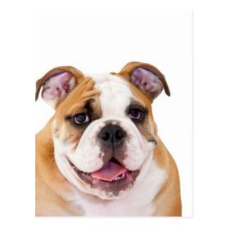 English bulldog puppy post cards