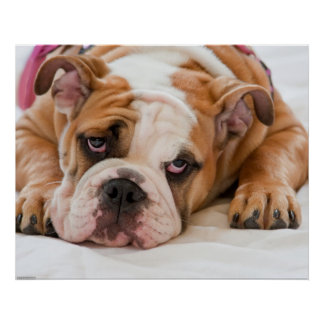 English Bulldog Puppy Poster