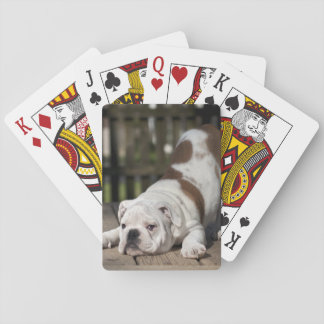 English bulldog puppy stretching down. playing cards