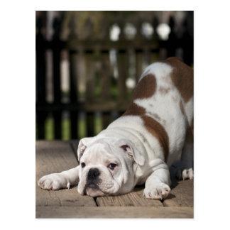 English bulldog puppy stretching down. postcard