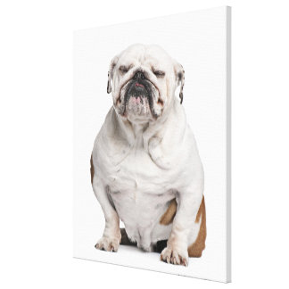English Bulldog, sitting in front of white Canvas Print