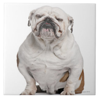 English Bulldog, sitting in front of white Tile