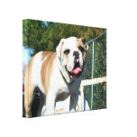 English bulldog stretched canvas print
