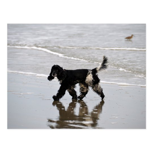 English Cocker Spaniel on the Beach Postcard