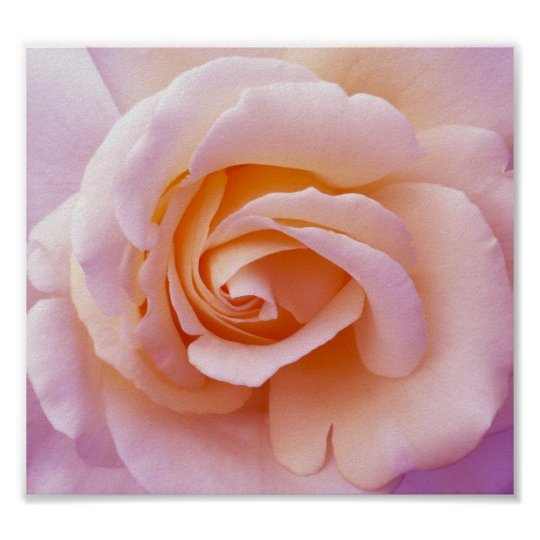 English Country Garden Rose Poster