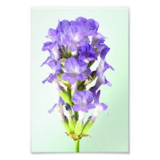 English Lavender Flower Photo Print