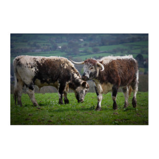 English Longhorns Acrylic Wall Art