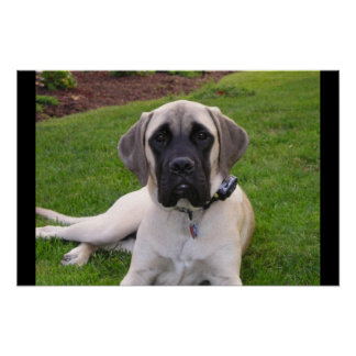 English Mastiff puppy Poster