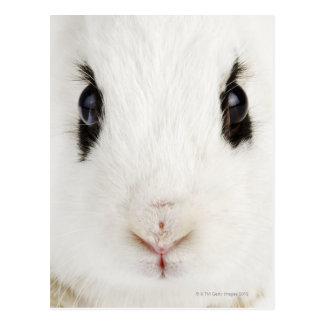 English rabbit (Oryctolagus cuniculus) Postcard