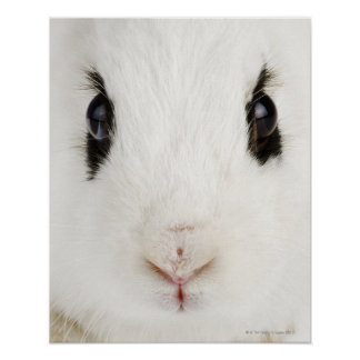 English rabbit Oryctolagus cuniculus Posters