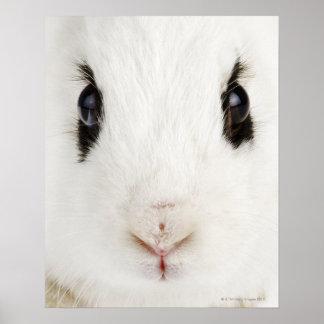 English rabbit (Oryctolagus cuniculus) Poster