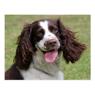 English Springer Spaniel dog beautiful photo Postcard