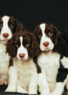 Springer Spaniel Puppy Gifts Cards | Zazzle UK