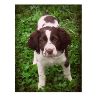English Springer Spaniel Puppy Card Postcard