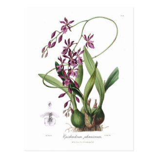 Epidendrum phœniceum postcard