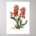 Epidendrum Vitellinum Posters
