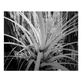 Epiphytic tillandsia are common in the Florida, Poster