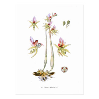 Epipogon aphyllus postcard