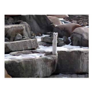 Ermine On Snowy Rocks Postcard