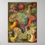 Ernst Haeckel - Actiniae Anemones Poster