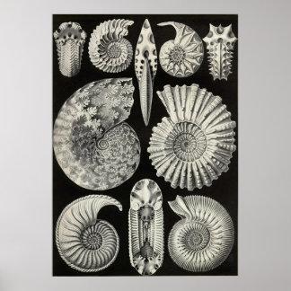 Ernst Haeckel - Ammonitida Posters
