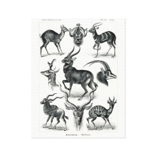 Ernst Haeckel Antilopina, Antelopes Stretched Canvas Prints