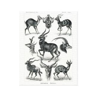 Ernst Haeckel Antilopina, Antelopes Canvas Print
