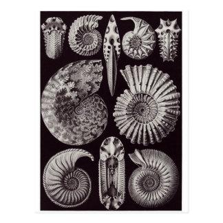 Ernst Haeckel Art Postcard: Ammonitida
