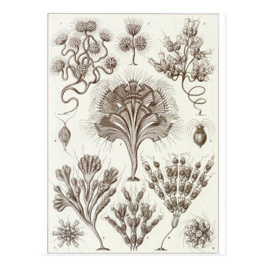 Ernst Haeckel Art Postcard: Flagellata Postcard