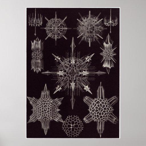 Ernst Haeckel Art Print: Acanthophracta Poster