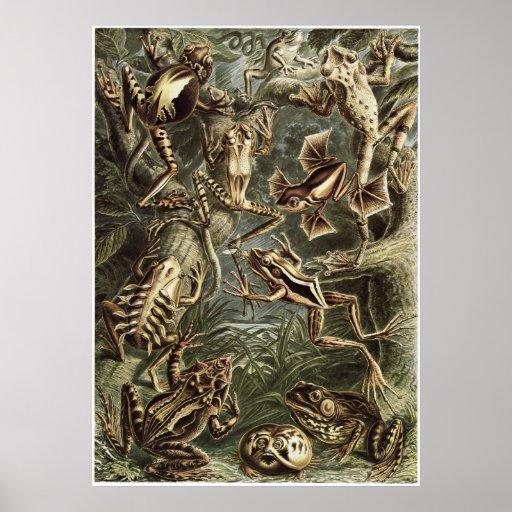 Ernst Haeckel Art Print: Batrachia Poster