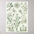 Ernst Haeckel Art Print: Campanariae Poster