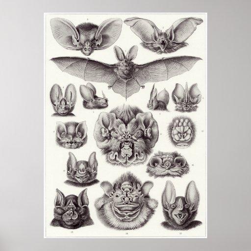 Ernst Haeckel Art Print: Chiroptera Poster
