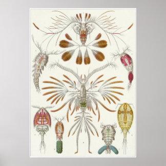 Ernst Haeckel Art Print: Copepoda Poster