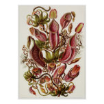 Ernst Haeckel Art Print: Nepenthaceae Poster