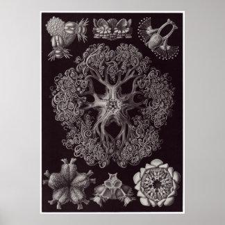 Ernst Haeckel Art Print: Ophiodea