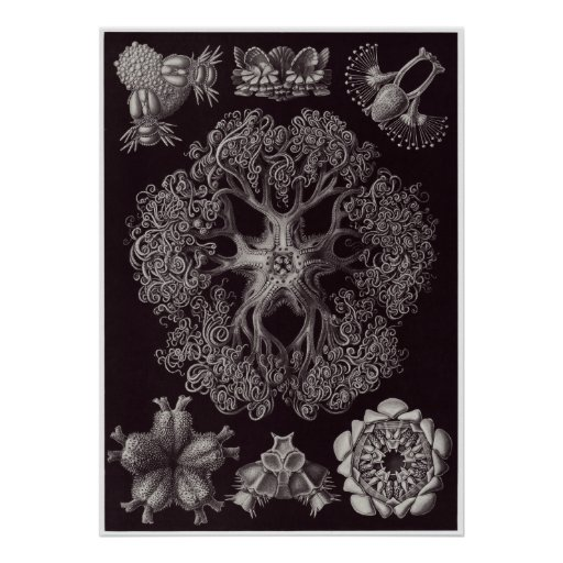 Ernst Haeckel Art Print: Ophiodea Poster