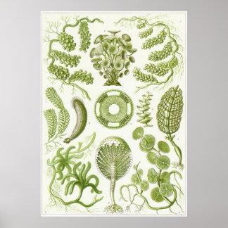 Ernst Haeckel Art Print: Siphoneae Poster