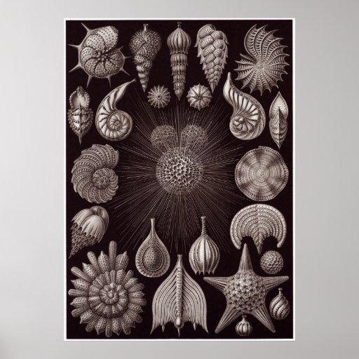 Ernst Haeckel Art Print: Thalamphora Poster