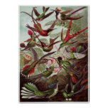Ernst Haeckel Art Print: Trochilidae Poster