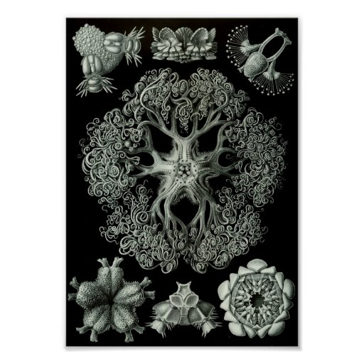"Ernst Haeckel Art Sea Life 11"" x 8.5"