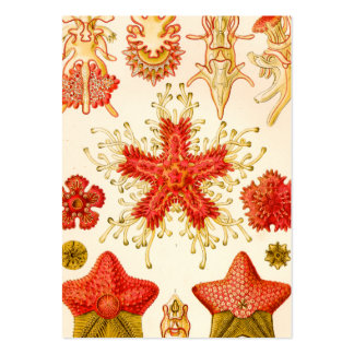 Ernst Haeckel Asteridea Pack Of Chubby Business Cards