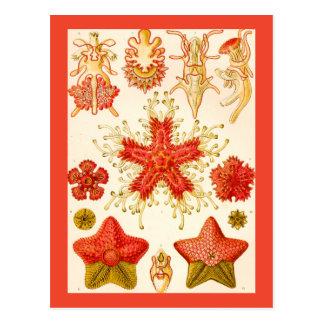 Ernst Haeckel Asteridea Postcard