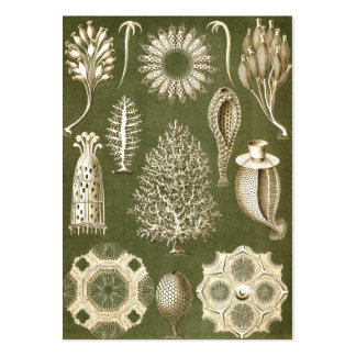 Ernst Haeckel Calcispongiae Chubby Business Cards